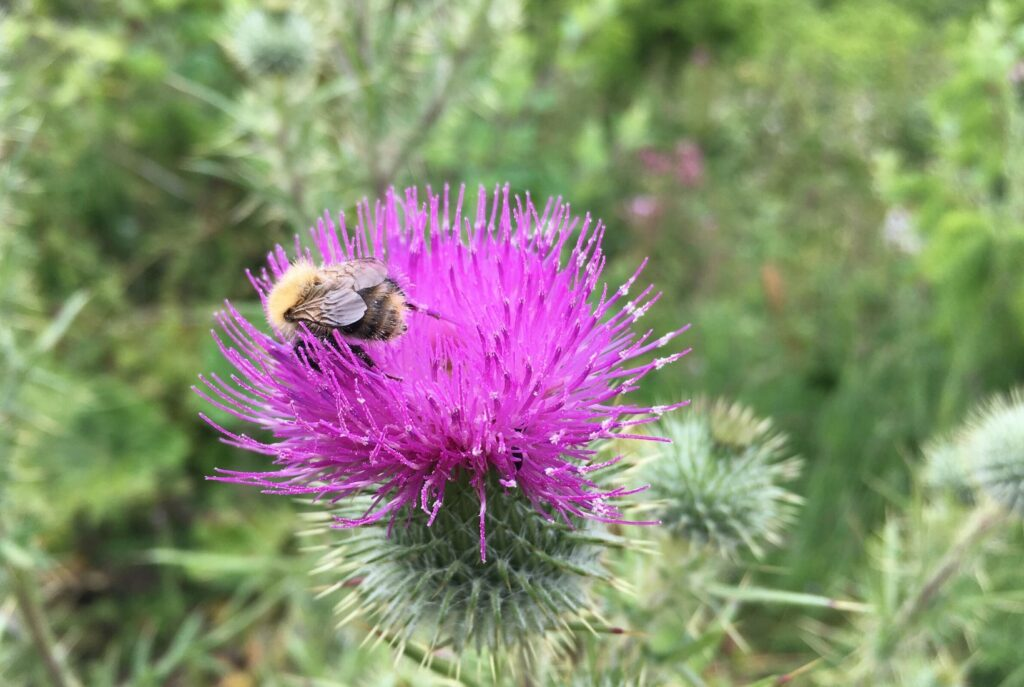 Bee on thistle. How a bee can teach us to overcome low self esteem