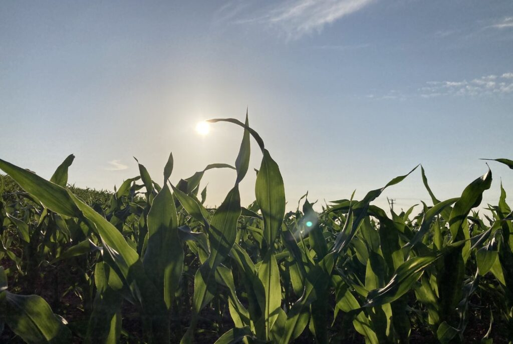 A field of corn with the sun setting above. Nature has much is can teach us, not least about how to solve the planets' problems.